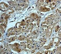 Immunohistochemistry (Formalin/PFA-fixed paraffin-embedded sections) - Anti-beta Tubulin antibody (ab134185)