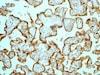 Immunohistochemistry (Formalin/PFA-fixed paraffin-embedded sections) - Anti-HSD17B1 antibody [EP1681Y] (ab134193)
