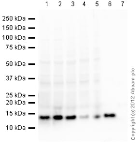 Western blot - Anti-Histone H4 antibody (ab134212)