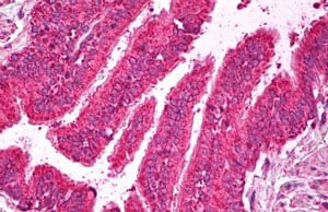 Immunohistochemistry (Formalin/PFA-fixed paraffin-embedded sections) - Anti-SYT6 antibody (ab134294)