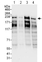 Western blot - Anti-PCF11 antibody (ab134391)