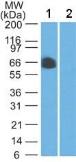 Western blot - Anti-CIKS/ACT1 antibody (ab134420)