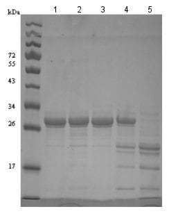 SDS-PAGE - Recombinant human htrA4 protein (ab134446)