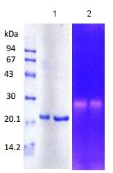 SDS-PAGE - Recombinant human MMP3 protein (ab134448)