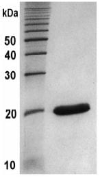 SDS-PAGE - Recombinant human MMP13 protein (ab134452)