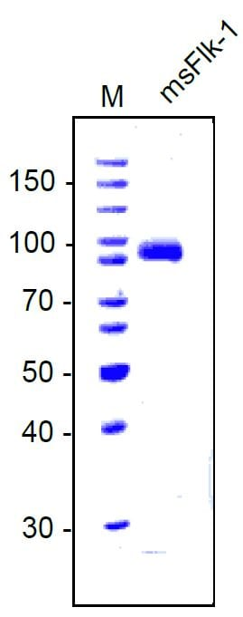 SDS-PAGE - Recombinant mouse VEGF Receptor 2 protein (ab134453)