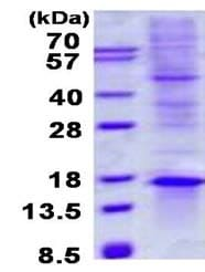 SDS-PAGE - Recombinant Human TIAF1 protein (denatured) (ab134518)