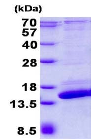 SDS-PAGE - Recombinant Human SH3BGRL2 protein (ab134519)