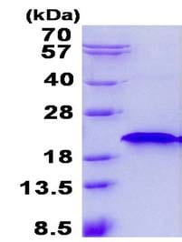 SDS-PAGE - Recombinant Human LOC51255 protein (ab134526)