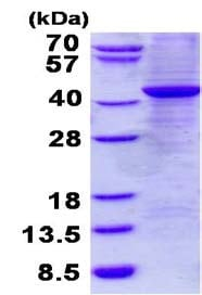 SDS-PAGE - Recombinant Human GNAX+GNAZ protein (denatured) (ab134541)