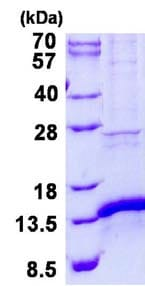 SDS-PAGE - Recombinant Human MitoNEET protein (ab134545)