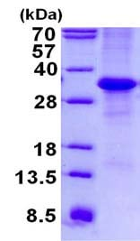 SDS-PAGE - Recombinant Human MFAP4 protein (denatured) (ab134547)