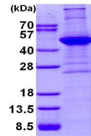 SDS-PAGE - Recombinant Human alpha smooth muscle Actin protein (ab134555)