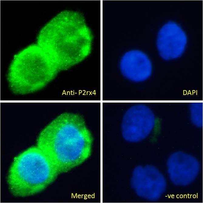 Immunocytochemistry/ Immunofluorescence - Anti-P2X4 antibody (ab134559)