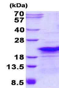 SDS-PAGE - Recombinant Human RPL26L1 protein (ab134605)