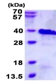 SDS-PAGE - Recombinant Human RNF4 protein (ab134611)