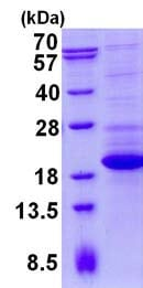 SDS-PAGE - Recombinant Human TTC32 protein (ab134614)