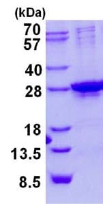 SDS-PAGE - Recombinant Human Homeobox protein SIX6  (ab134617)