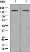 Western blot - Anti-Gli1 antibody [EPR4523] (ab134906)