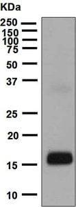Western blot - Anti-IL-1 alpha antibody [EPR5103(2)] (ab134908)