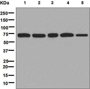 Western blot - Anti-LysRS antibody [EPR7920] (ab134912)