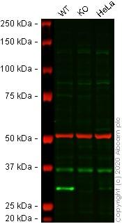Western blot - Anti-Histone H1.0 antibody [EPR6536] (ab134914)