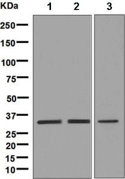 Western blot - Anti-PITX3/PTX3 antibody [EPR8868] (ab134920)