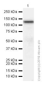 Western blot - Anti-DPD antibody [EPR8811] (ab134922)