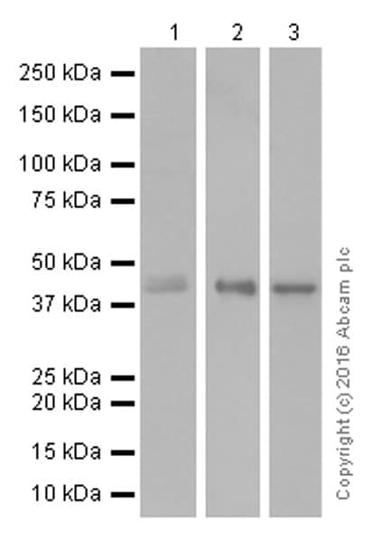 Western blot - Anti-DPF2/REQ antibody [EPR9206(B)] (ab134942)