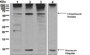 Western blot - Anti-Ubiquitin antibody [EPR8830] (ab134953)
