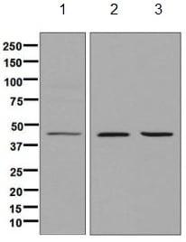 Western blot - Anti-ACY-1 antibody [EPR8444] (ab134955)