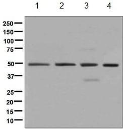 Western blot - Anti-eIF3e antibody [EPR6878(2)] (ab134958)