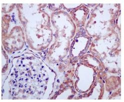 Immunohistochemistry (Formalin/PFA-fixed paraffin-embedded sections) - Anti-RPL13 antibody [EPR8828] (ab134961)