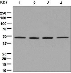 Western blot - Anti-SAHH antibody [EPR9261] (ab134966)