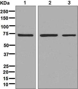 Western blot - Anti-PABPC3 antibody [EPR8998] (ab134967)