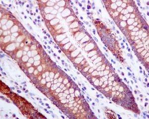 Immunohistochemistry (Formalin/PFA-fixed paraffin-embedded sections) - Anti-ZPR1 antibody [EPR7595] (ab134970)