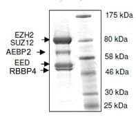 SDS-PAGE - Recombinant Human EZH2 + EED + SUZ12 + AEBP2 + RBBP4 (mutated Y646 C) protein (ab135011)
