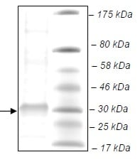 SDS-PAGE - Recombinant Human PLA2G12B protein (ab135016)