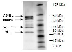 SDS-PAGE - Recombinant human MLL + ASH2L + RBBP5 + WDR5 protein (ab135021)
