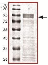 SDS-PAGE - Recombinant human DYRK3 protein (ab135222)