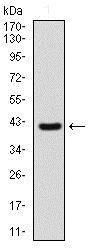Western blot - Anti-Sonic Hedgehog antibody [5H4] (ab135240)