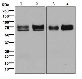 Western blot - Anti-Nectin 2 antibody [EPR6717] (ab135246)