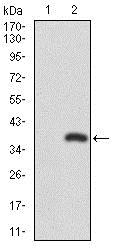 Western blot - Anti-RUNX3 antibody [2B3] (ab135248)