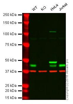 Western blot - Anti-PPM1A antibody [7F12] (ab135249)