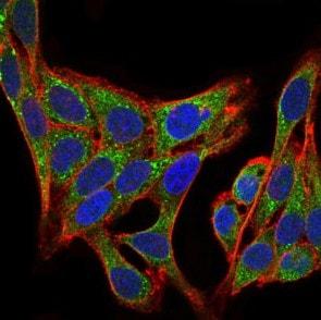 Immunocytochemistry/ Immunofluorescence - Anti-PI 3 Kinase p85 alpha antibody [6G10] (ab135253)