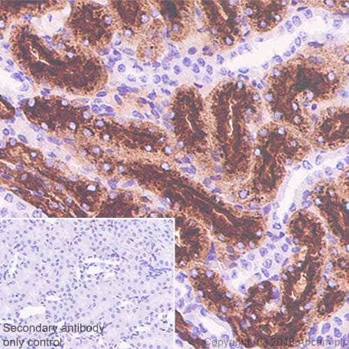 Immunohistochemistry (Formalin/PFA-fixed paraffin-embedded sections) - Anti-CD15 antibody [SP159] (ab135377)