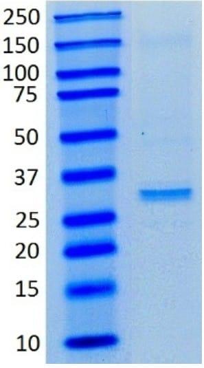 Immunoprecipitation - Anti-Lactate Dehydrogenase antibody [98A-1F9BB1] (ab135396)