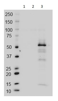 Western blot - Anti-GAL4 antibody [14-7E10G10] (ab135398)