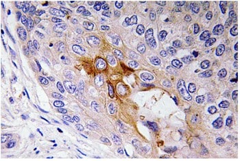 Immunohistochemistry (Formalin/PFA-fixed paraffin-embedded sections) - Anti-68kDa Neurofilament/NF-L antibody (ab135884)