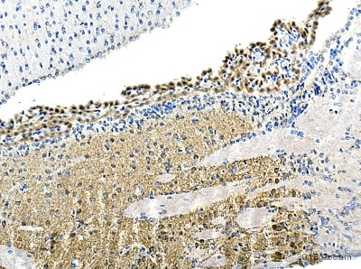 Immunohistochemistry (Formalin/PFA-fixed paraffin-embedded sections) - Anti-Gephyrin antibody (ab136343)